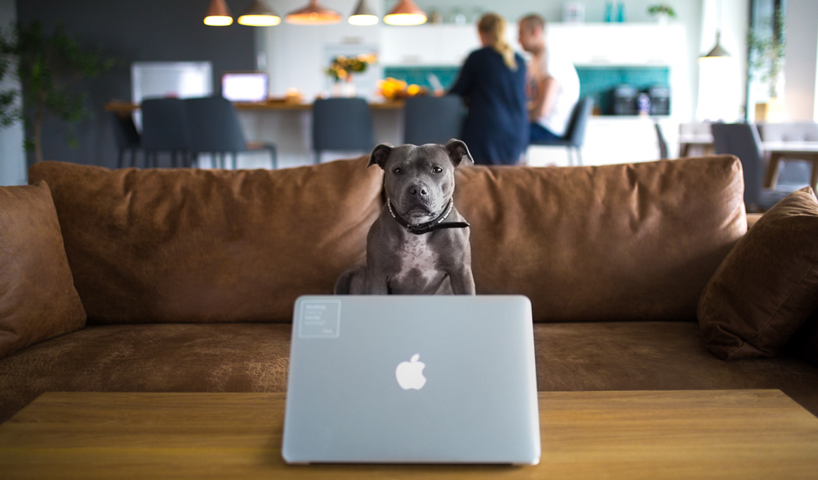 Bree - Scoro's office dog behind a macbook