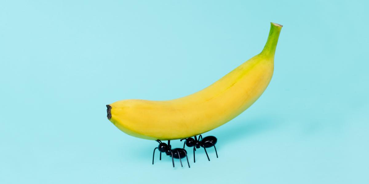 Yellow banana and ants doing teamwork